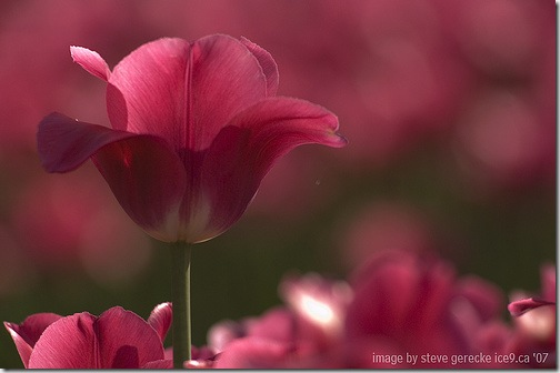 tulips steve gerecke 3