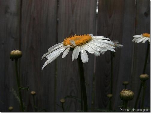 donna daisy