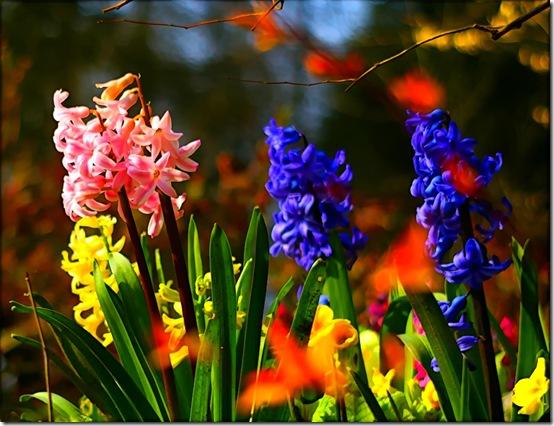 hyacinths flickr