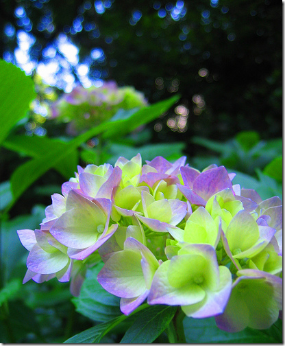 hydrangea flickr