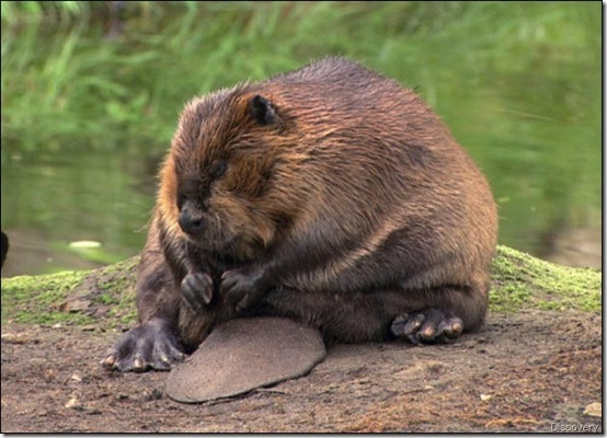 beaver-picture discovery[2]