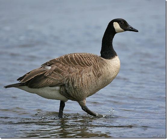canada-goose uvm edu