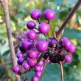 Arbuste aux bonbons- Callicarpa bodinieri