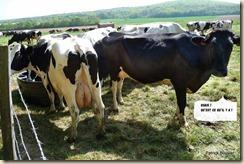vaches laitières Holstein (1)