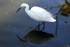 Egrets don't beg for food, they hunt for their own.