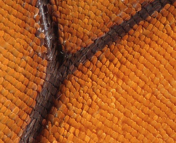 عالم المجهريات Looking-at-the-World-through-a-Microscope-Butterfly-Wing.jpg