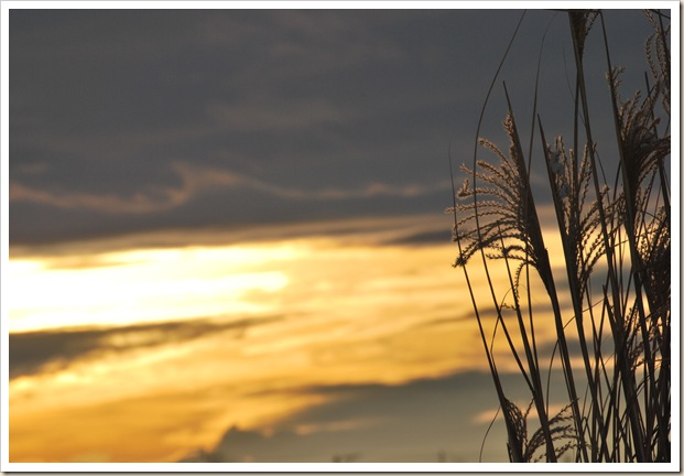 Reed Grass 5