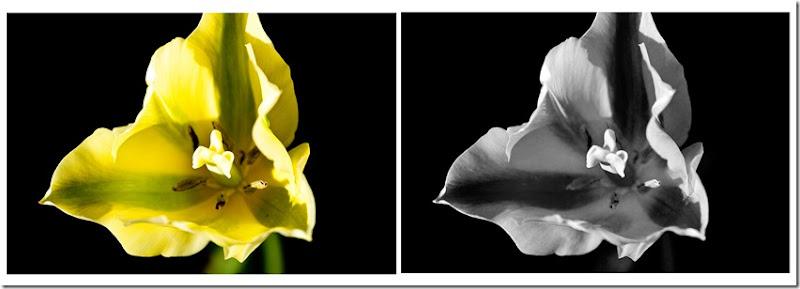 Green Tulip 1 SxS J