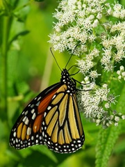 Monarch_IMGP0191