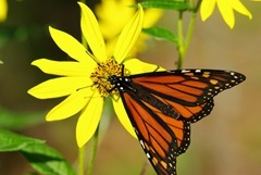 Monarch_Above_IMGP0320