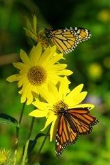 Monarchs_IMGP0307