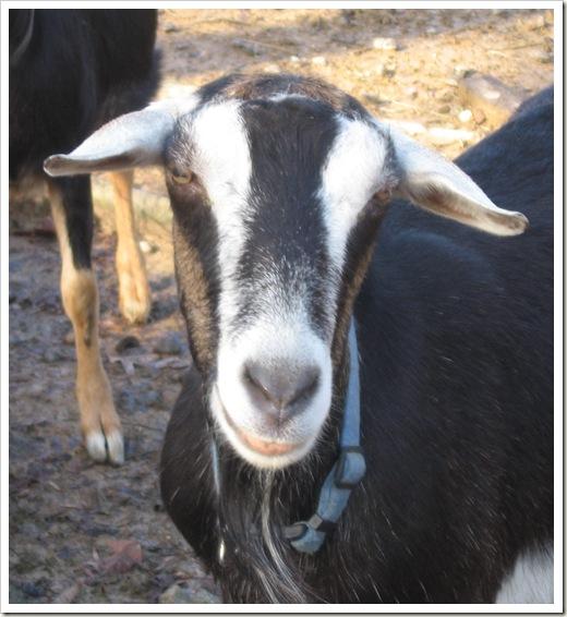 goats 013A