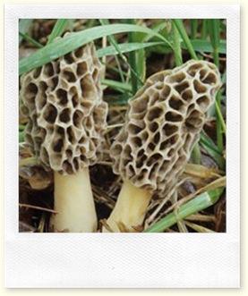 morel-mushroom-hunting