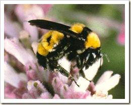 american-bumble-bee