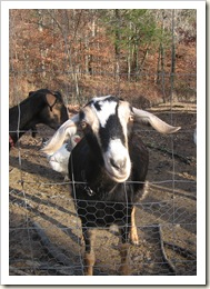 goats 002 A