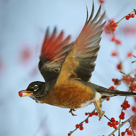 Carry the Berry by Deb Ratzlaff Bether Hagen - Animals Birds ( robin, red berries and bird, american robin, robin in flight, bird in flight,  )