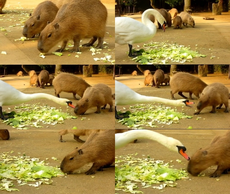 【動画】カピバラの「白鳥が強すぎる件」