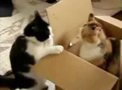 【動画】段ボール箱をかけた猫たちの壮絶な戦い Cat Box Fight