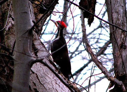 Une des très nombreuses espèces animales quon peut rencontrer dans la pointe ouest de lîle de Montréal à lArborétum de lUniversité McGill