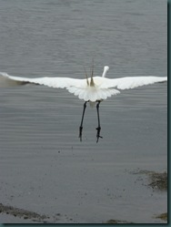 great egret fly (1)