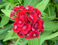 Sweet William Dianthus barbatua Caryophyllaceae (5)