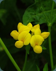 Yellow pea or yellow wild indigo Baptisia
