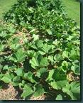 zucchini 0710 (3)