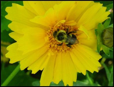 bee-coreopsis (3)