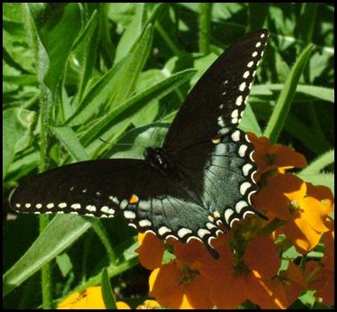 black swallowtail0410