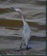 little blue heron18 0607 edit