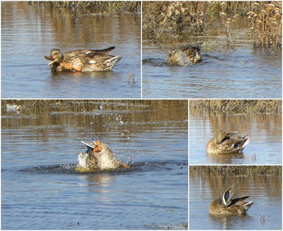 duck bath collage