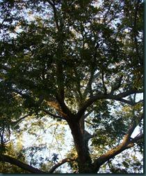 pecan tree (1)