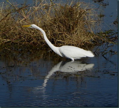 great egret103110 (9)