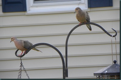 mourning doves0901 (3)