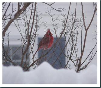 cardinal male0130 (2)