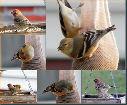 finch collage