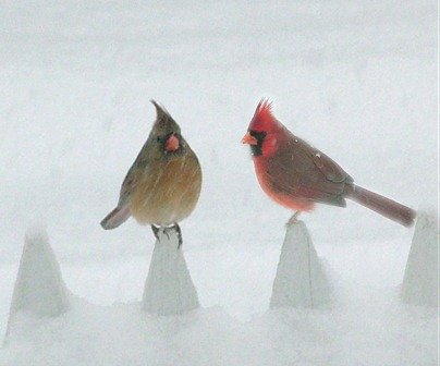 2 cardinals on fence plain
