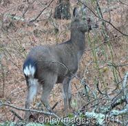 sila deer020511 (2)