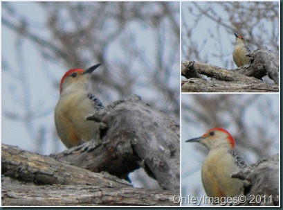 downy woodpecker collage1