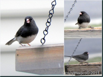 junco collage1