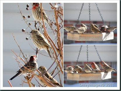finches collage1