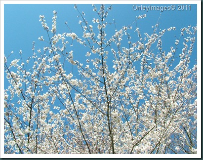 cherry blossom time0327 (9)
