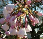 cherry blossom time0327 (18)