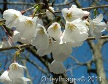 cherry blossom time0327 (6)