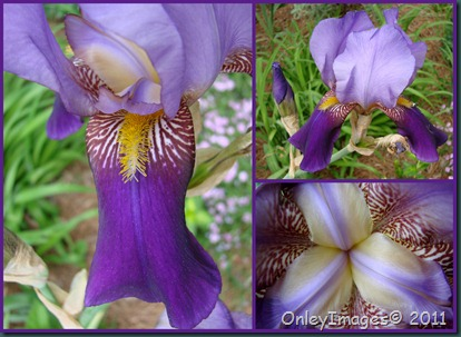 purple iris collage0502