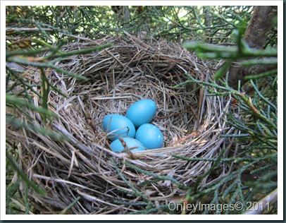 robin eggs0509 (1)