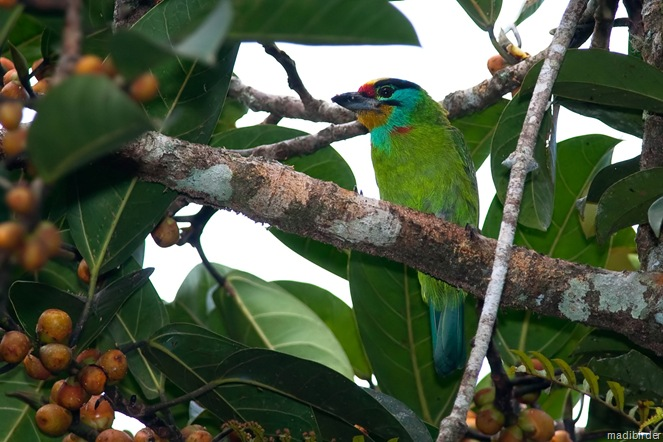 Black Browed Barbet2
