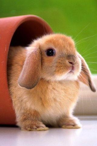 Bunny Picture iPhone Desktop Wallpaper