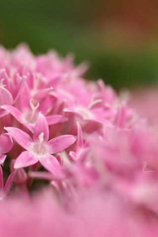 Pink Flowers in Spring Wallpaper For iPhone