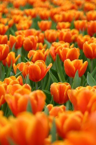 Orange Tulip Flowers iPhone Wallpaper